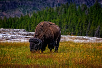 Yellowstone_Bison01 copy