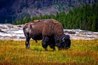 Yellowstone_Bison02 copy